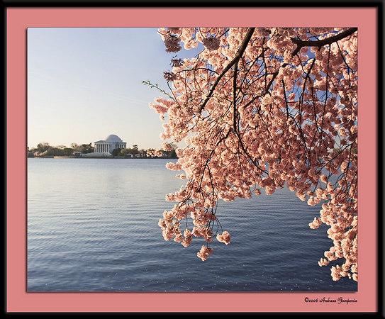Around DC during the Cherry Blossom Festival