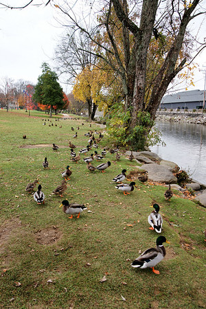 Pigeon Forge/Roaring Creek - Mallards and Canadians 11/09