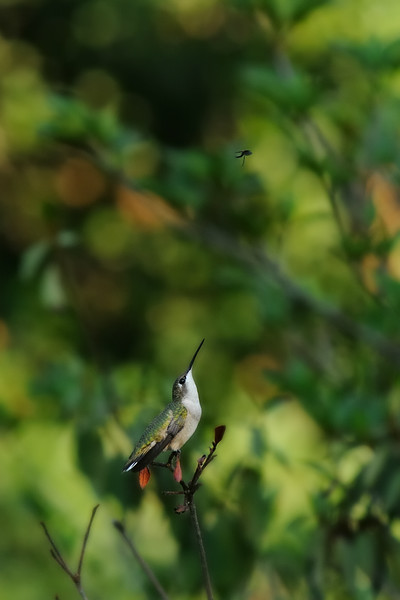 Are you ready for hummingbird overdose? This one was kept busy by a pesky wasp that kept it on the move for a while.