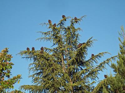 Turkey Vultures, December Guests