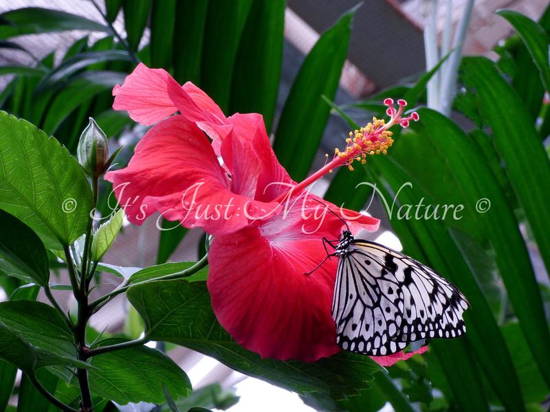 Paperkite on Hibiscus
