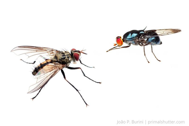 Fly (Diptera) Ribeirão Grande, SP, Brazil November 2012 Tropical forest / Atlantic forest
