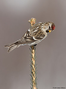 Common Redpoll, Carduelis flammea