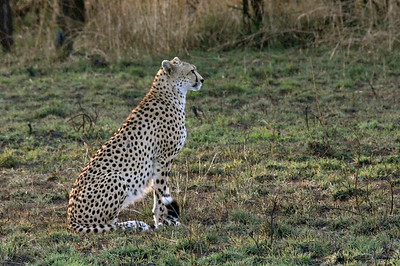 7-1-2008 Leopard in a Tree Tanzania