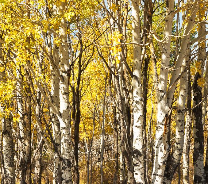 Aspen fall colors in the Teton National Park