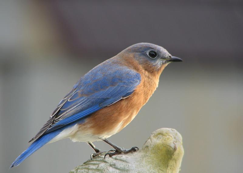 bluebird_4481.jpg