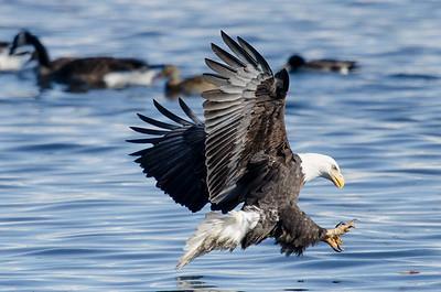 Mississippi River Bald Eagles - Winter 2018