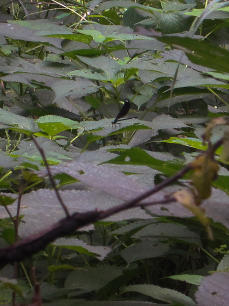 One of the Ebony Jewelwing Damselflies (female, with dot) that we saw while walking.
