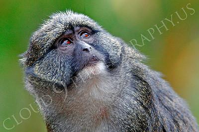 Allen's Swamp Monkey Wildlife Photography