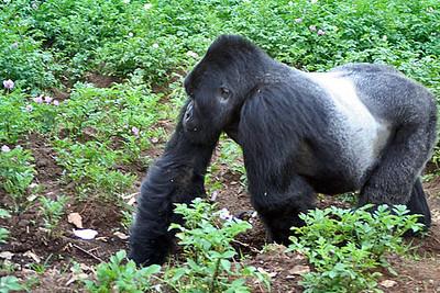 Gorillas-Rwanda-Uganda