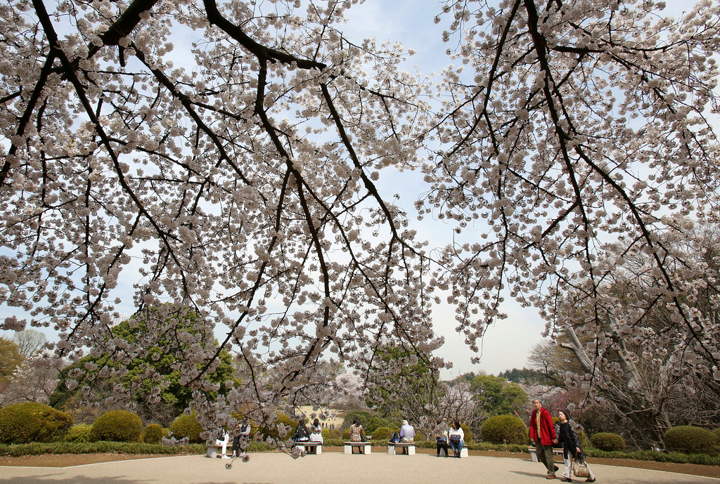 . Visitors enjoy the cherry blossoms at Shinjuku Gyoen national garden in Tokyo, Monday, March 26, 2018 in Tokyo. Cherry blossom flowers are at full bloom in Tokyo, Japan as it warms up for the spring season. (AP Photo/Koji Sasahara)