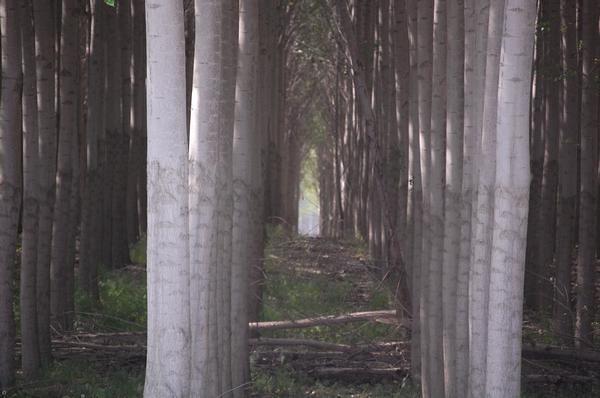 Tree Farm, East Oregon
