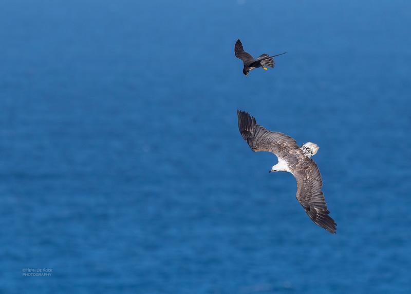 Peregrine Falcon & White-bellied Sea Eagle, Dee Why, Sydney, NSW, Oct 2018-2.jpg