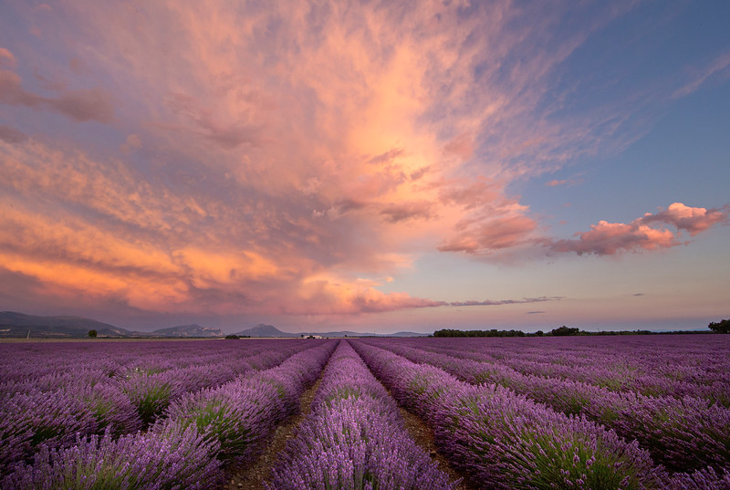pink clouds lavender hort 2 lighter.jpg
