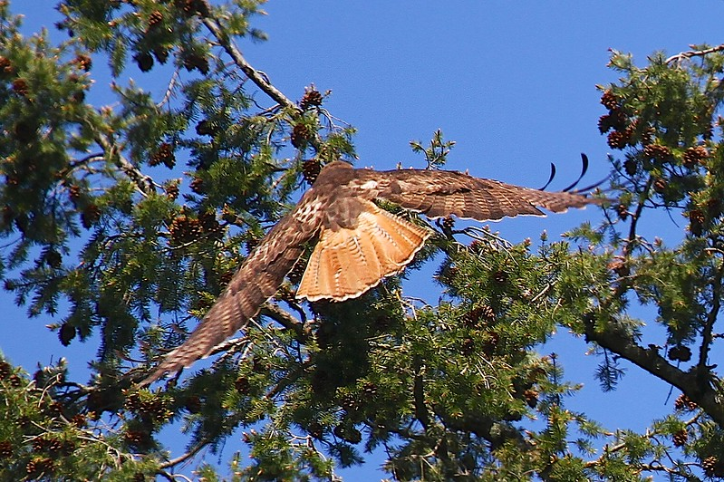 Nesting red-tailed hawks 2013. This is the 3rd year I have photographed the hawk family