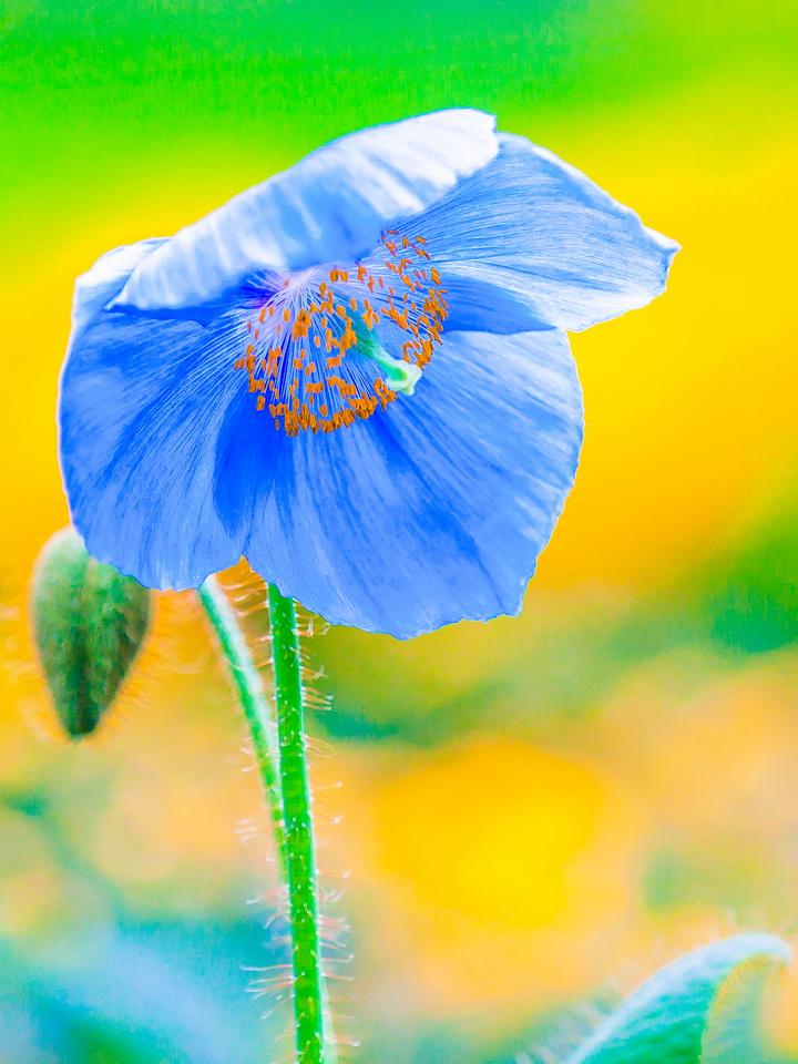 罂粟花,轻柔飘逸