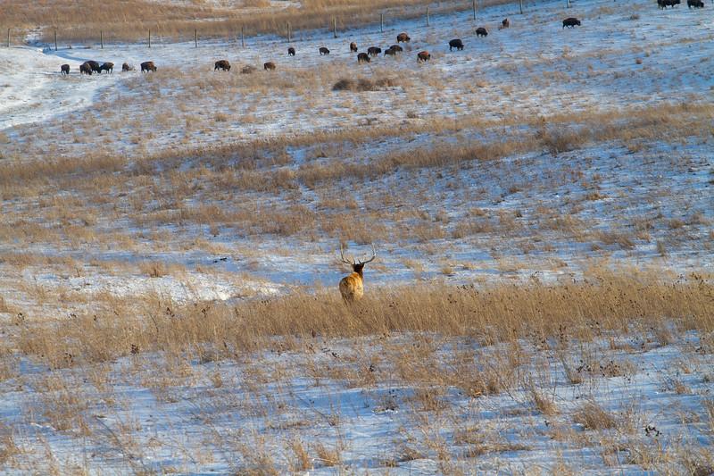 Elk bull and Bison herd Neal Smith National Wildlife Refuge NWR Prairie City IA  IMG_2341.jpg