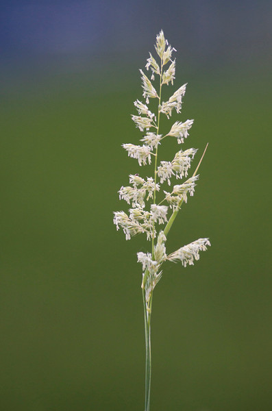 Grass Hafslovannet, Luster Canon EOS 50D + EF 400 mm 5,6 L