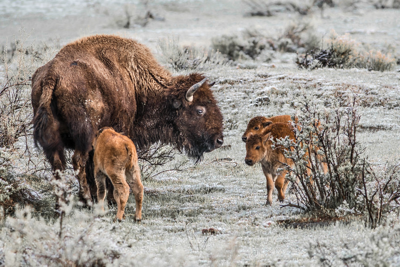 Bison and calf red dog Yellowstone National Park WY DSC04779.jpg