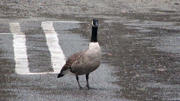 October 27:  A stopover in our parking lot .  .  .