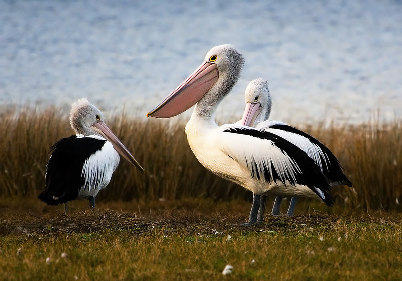 Three Australian Pelicans