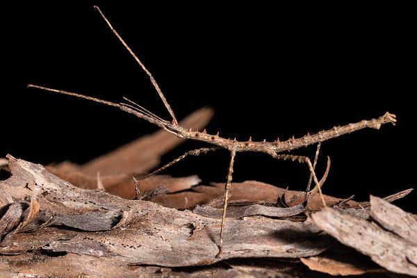 Micrarchus hystriculeus