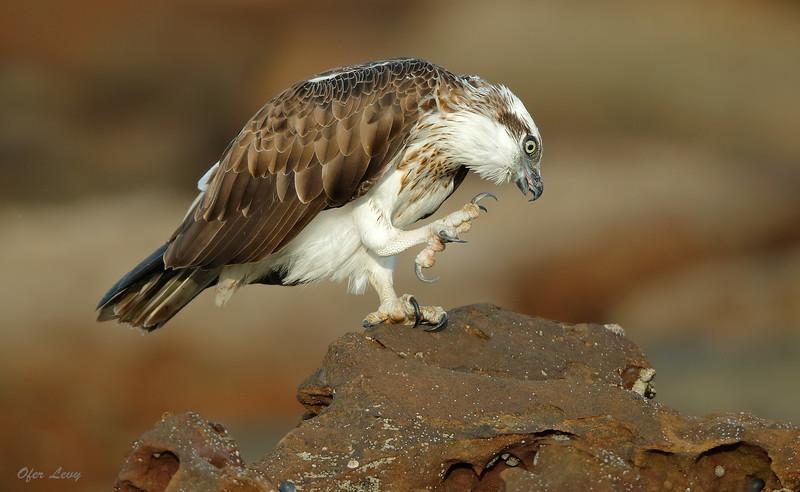 Eastern Osprey 5.jpg