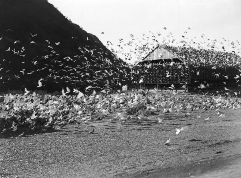 pigeons flying .jpg