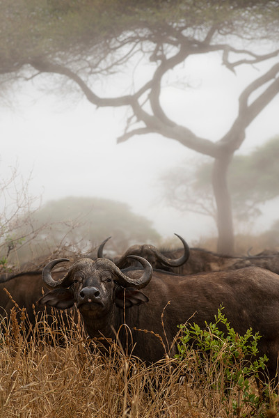 Buffalo in Tarangire national park  Tanzania, 2019