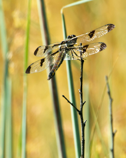 female 12 Spotted Skimmer