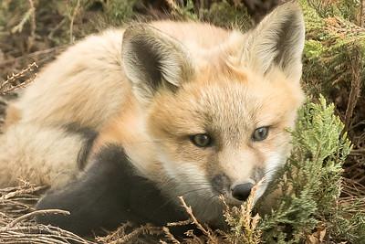 Foxes III