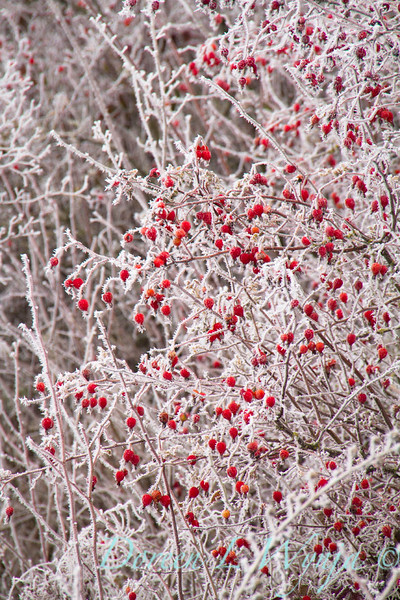 Winter frosted red rosehips_9516.jpg