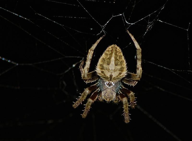 Spider - Vietnam