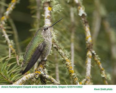 Anna's Hummingbird F53822.jpg