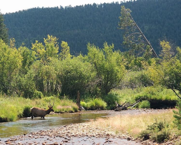 Elk buck crossing Stream.jpg