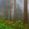 Redwoods and rhododendrons, Redwood National Park, June