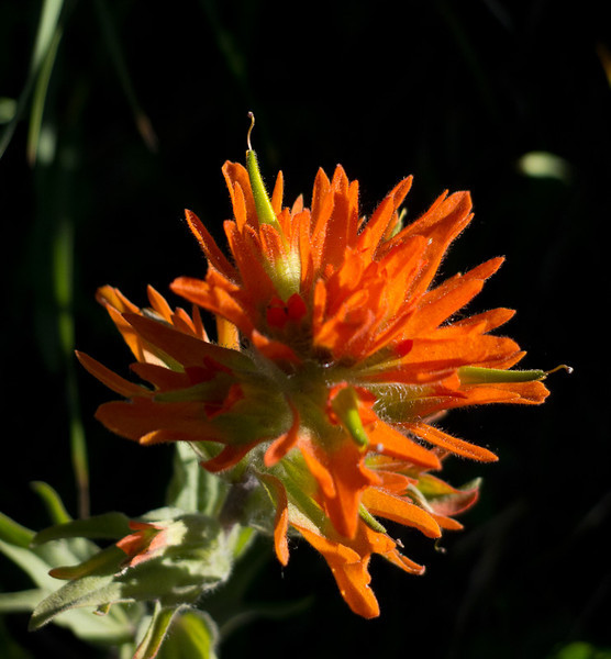 The Narrowleaf Paintbrush is the state flower of Wyoming.