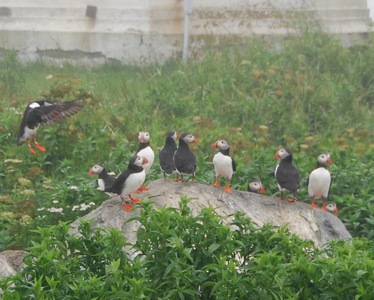 Machias Seal Island Trip - 070