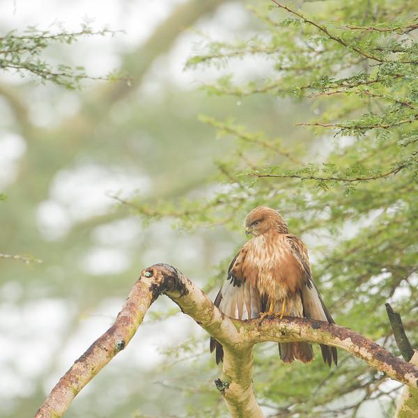 Fox Kestrel - Lake Nakuru National Park, Kenya