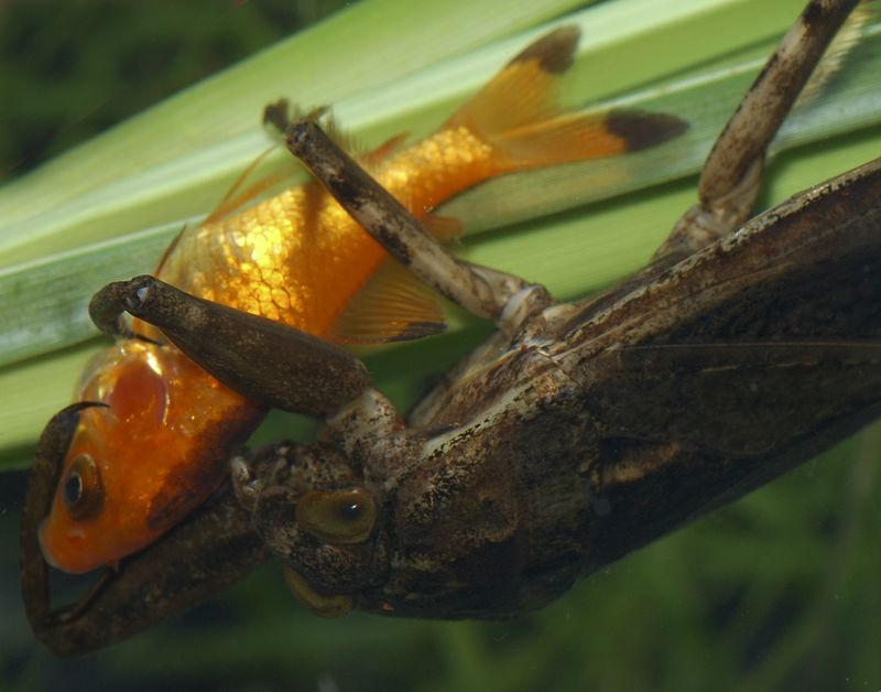 Giant Water Bug, quickly subdues a small goldfish  for a meal.