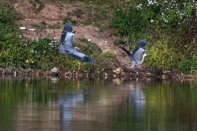 Two Herons squabbling