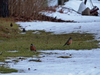 20170112 Winter Robins