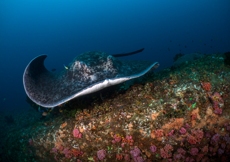 round ribbon tail ray