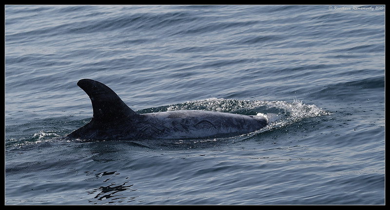 Risso's Dolphins, Oceanside Pelagic Trip, San Diego County, California, January 2010