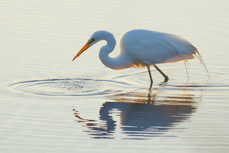 Great Egret - Recoils from a rapid fish catch