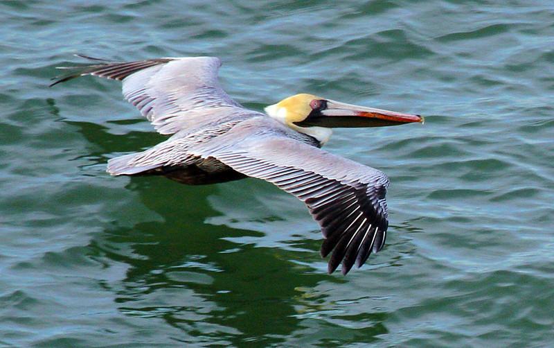 pelicanskimming3.jpg
