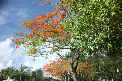 Saipan Flametrees 2007
