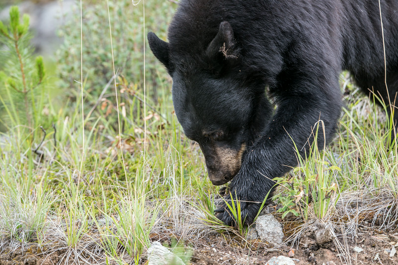 Black bear turning over rocks looking for something to eat. Just south of Jasper.