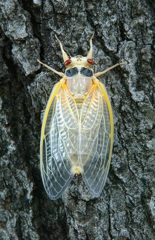 . A newly emerged adult cicada dries its wings on a tree May 16, 2004 at a park in Washington, DC. After 17-years of living below ground, billions of cicadas belonging to Brood X begin to emerge across much of the eastern United States. The cicadas shed their larval skin, spread their wings, and fly out to mate making a tremendous noise in the process.  (Photo by Alex Wong/Getty Images)