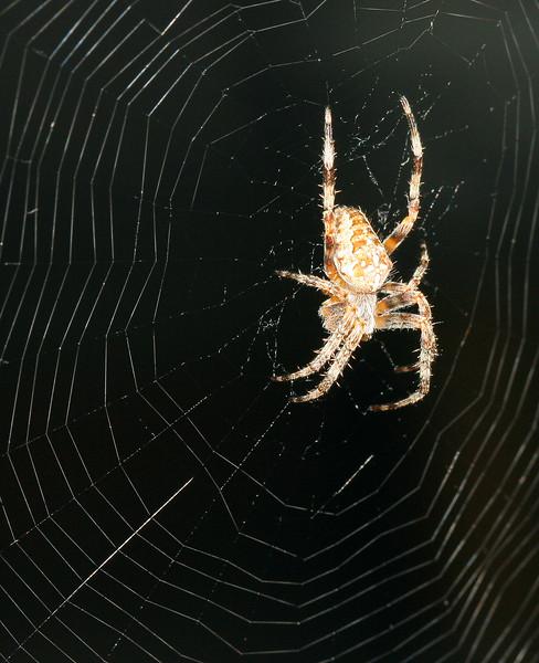 9862 Spider.jpg